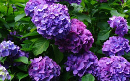 flowering shrubs image