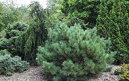 garden conifers image