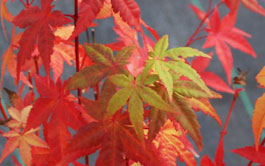 japanese maples image